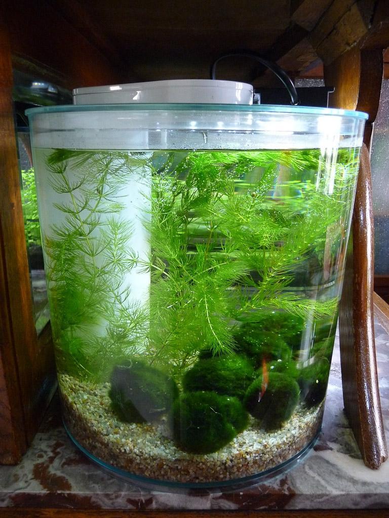 photo plante pour aquarium eau douce. Black Bedroom Furniture Sets. Home Design Ideas