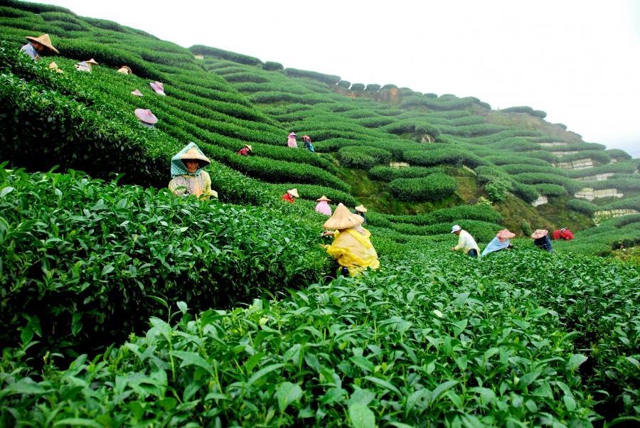 tea garden photo bangladesh