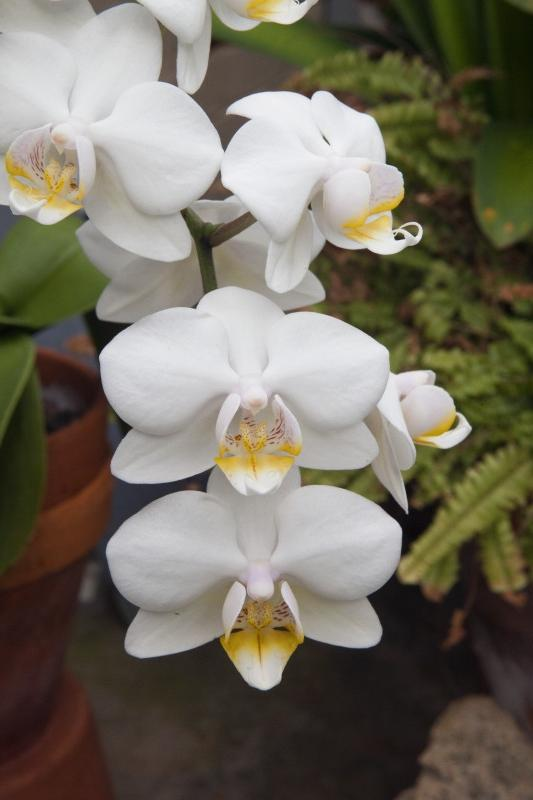 white orchid meaning
