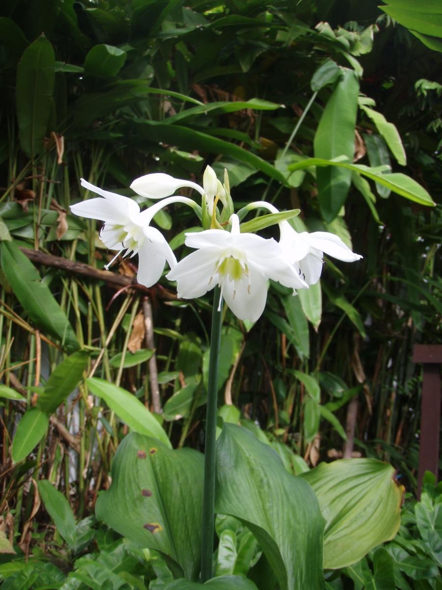 White bulb flowers photos - White flowering house plants ...