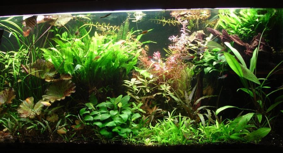 photo plante aquarium eau douce