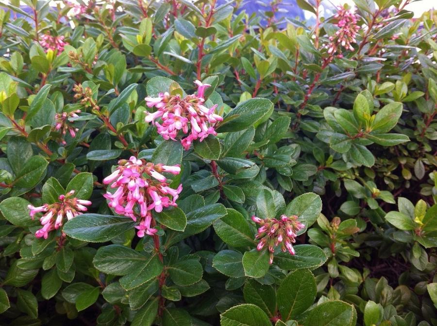 Evergreen Shrub Pink Flowers Hawthorne Photo