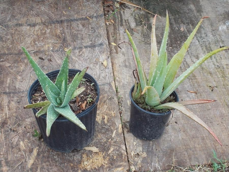 We have a couple of Aloe Vera in our arsenal here...just in case