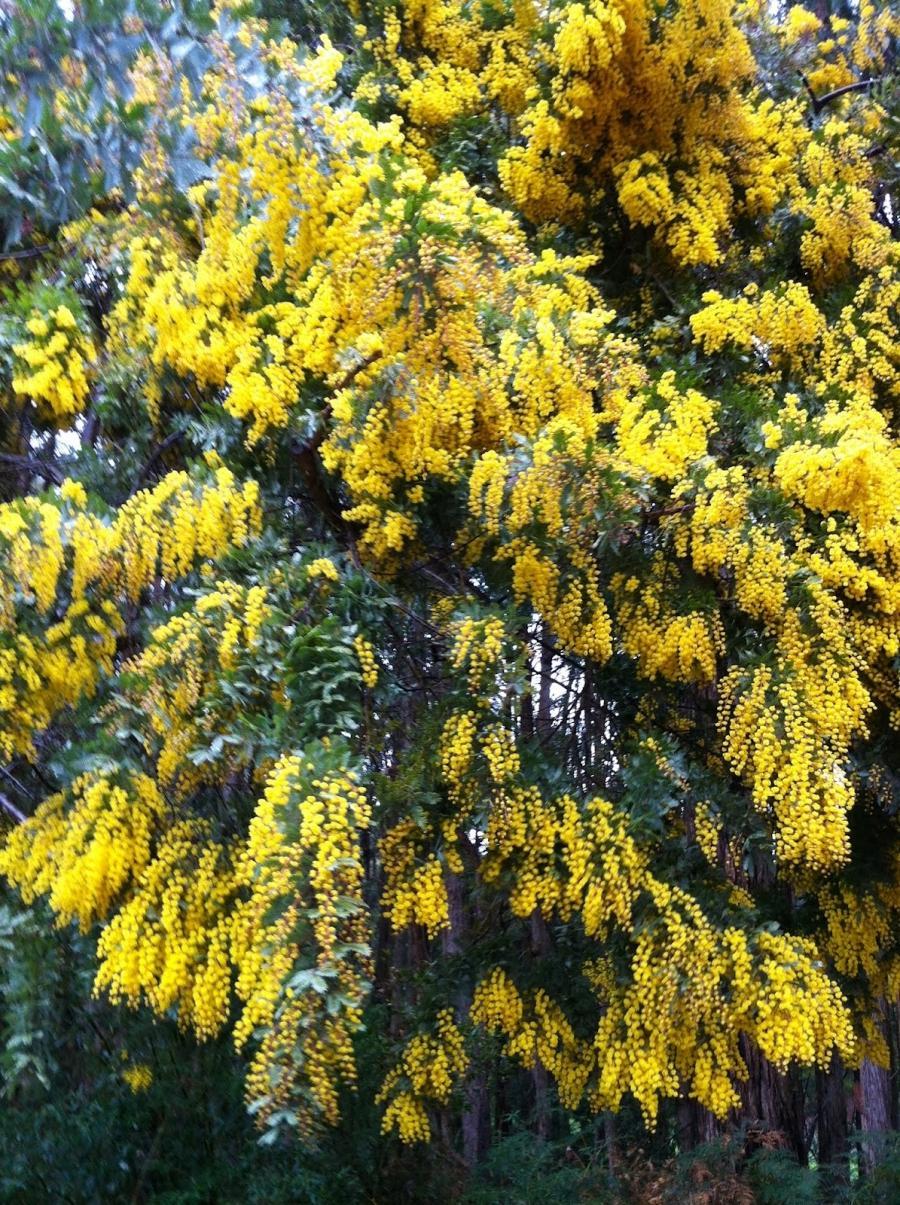 National Flower Of Australia Photo