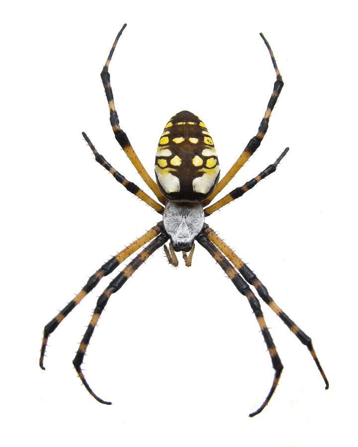 Black Yellow Garden Spider Photos