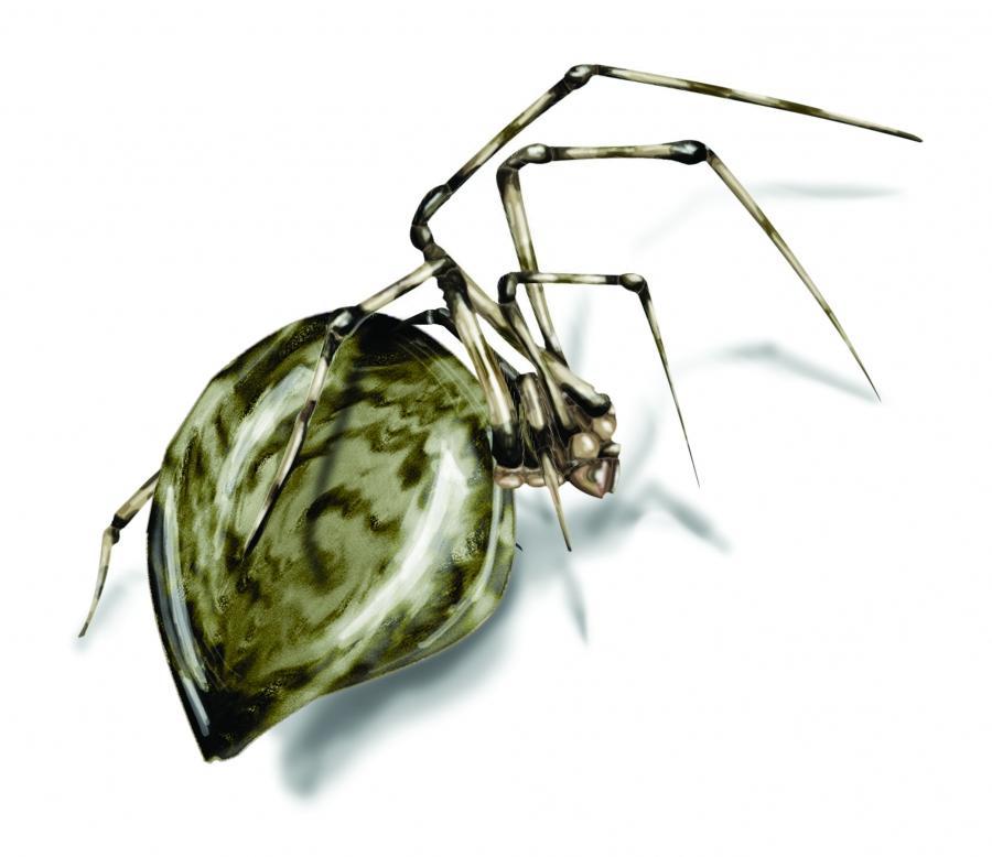 photos black house spiders