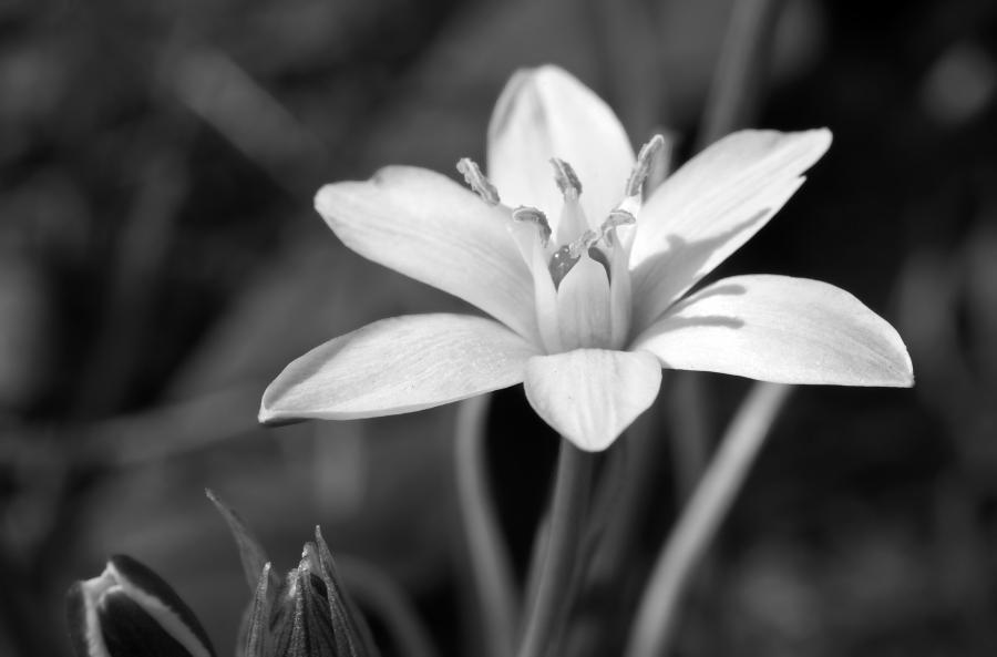 ... star-of-bethlehem flower photography art print in black ...