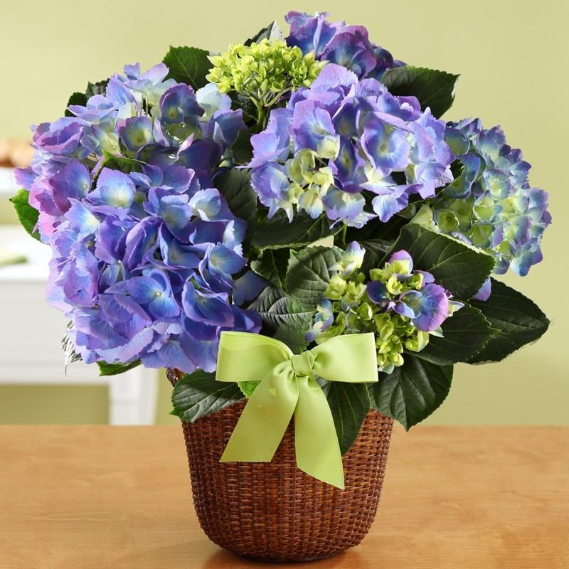 Photos of potted flowers - Care potted hydrangea ...
