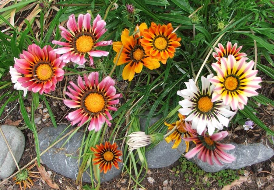These Gazanias were grown from seed, and Iu0026#39;m thrilled by...