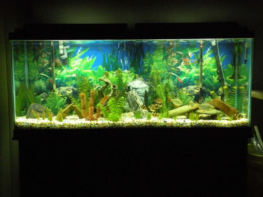 Photos large freshwater aquariums for Big freshwater aquarium fish