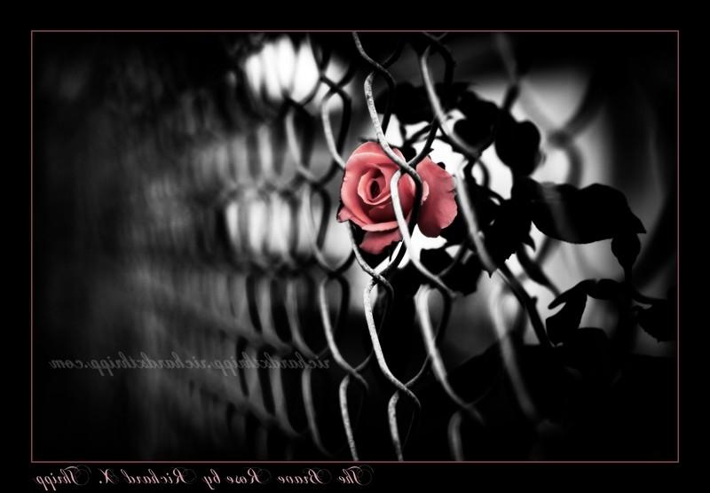 This is a brave rose, because sheu trapped behind a chain-link...