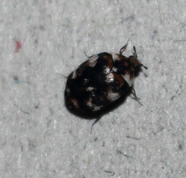 Black Carpet Beetle Photos