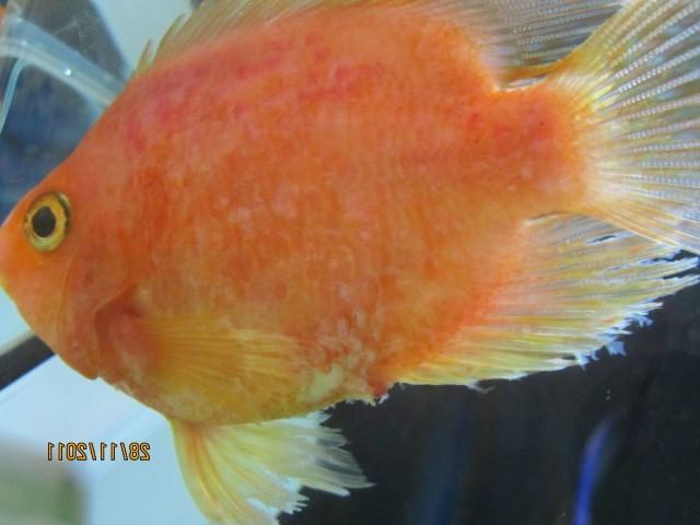 Aquarium fish disease photos for Parrot fish freshwater