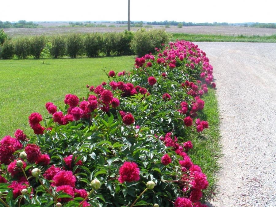 Perennial flowers list photos mightylinksfo