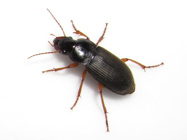 how to get rid of black beetles in house