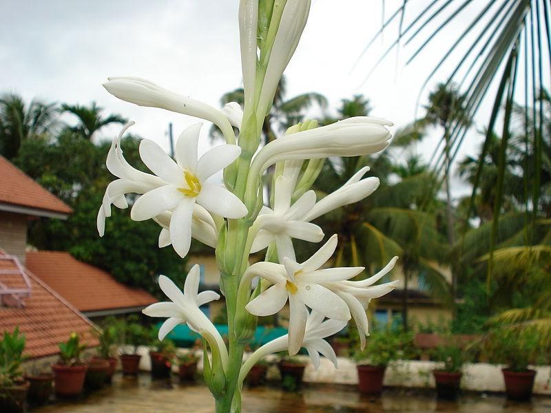 Nishigandha Flower Photos