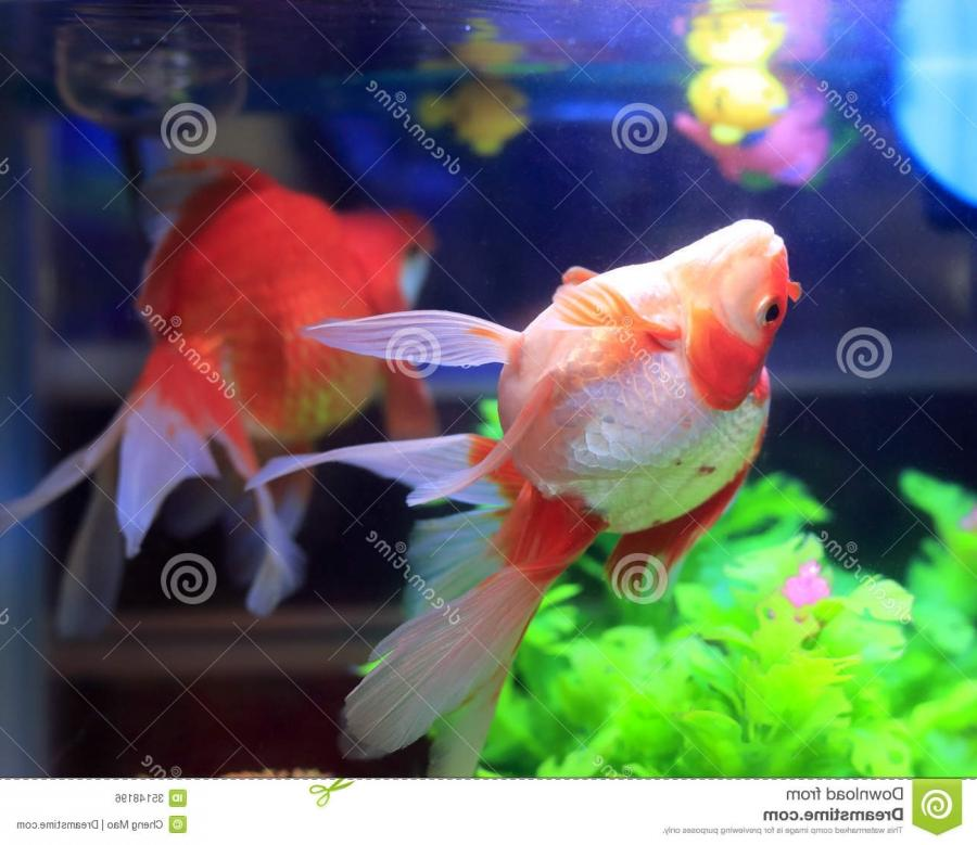 Goldfish aquarium photos for Aquarium decoration for goldfish