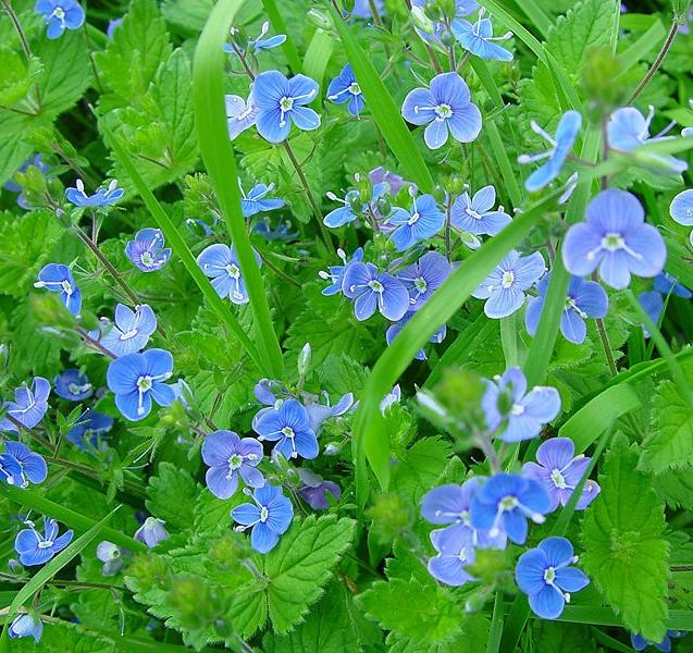 Садовые цветы с голубыми цветами фото