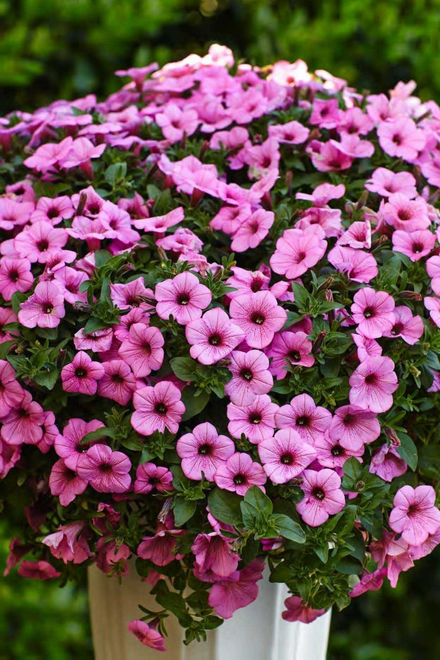Photos of annual flowers annual flowers buck and sons landscape blog source view full sizepetunia supertunia flamingoproven winners izmirmasajfo
