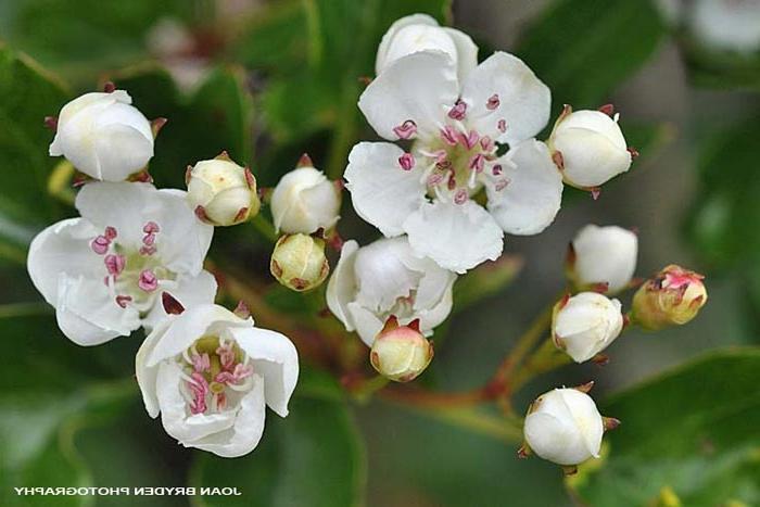 Photos Of Hawthorn Flowers
