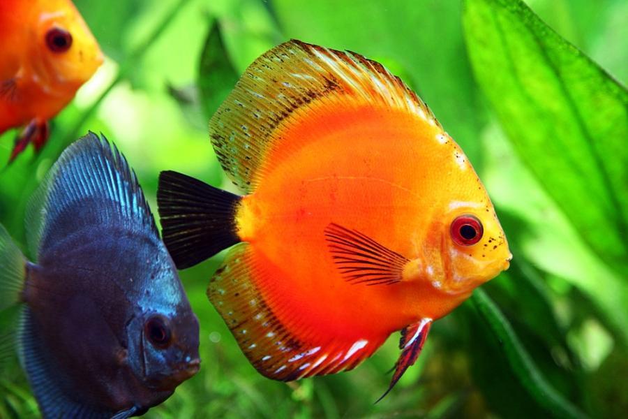 Freshwater aquarium fish species photos for Discus fish types