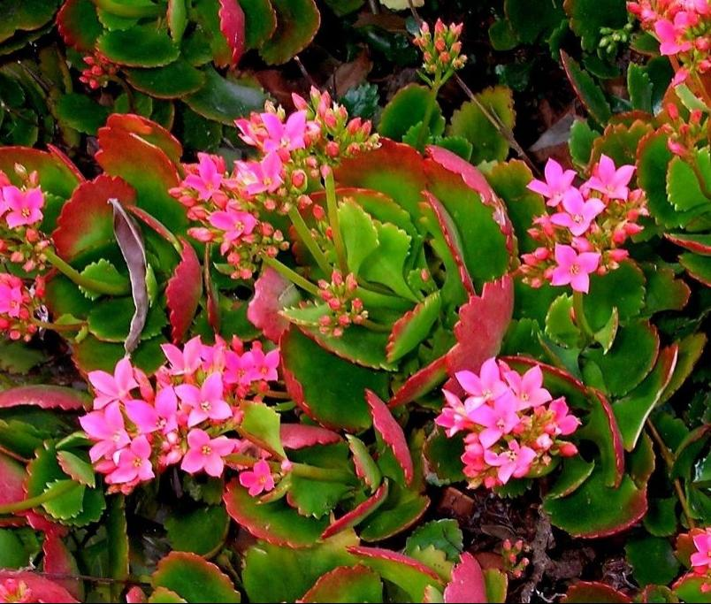 Years later, the kalanchoe are flourishing in large pots on the...