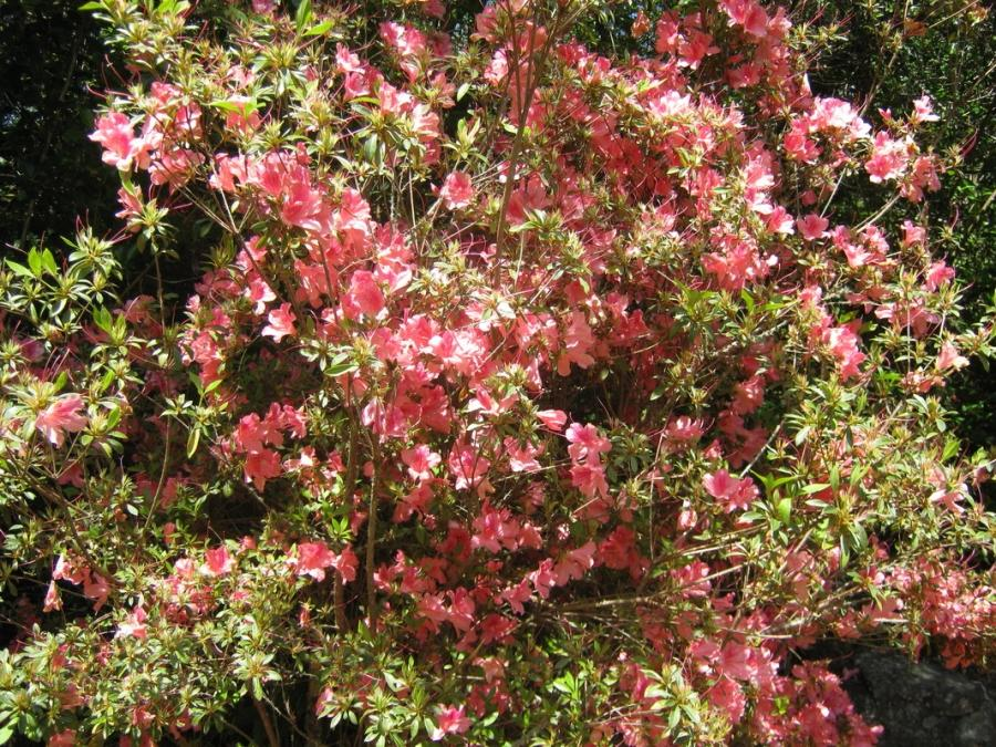 Evergreen shrub pink flowers hawthorne photo for Pink flowering shrubs