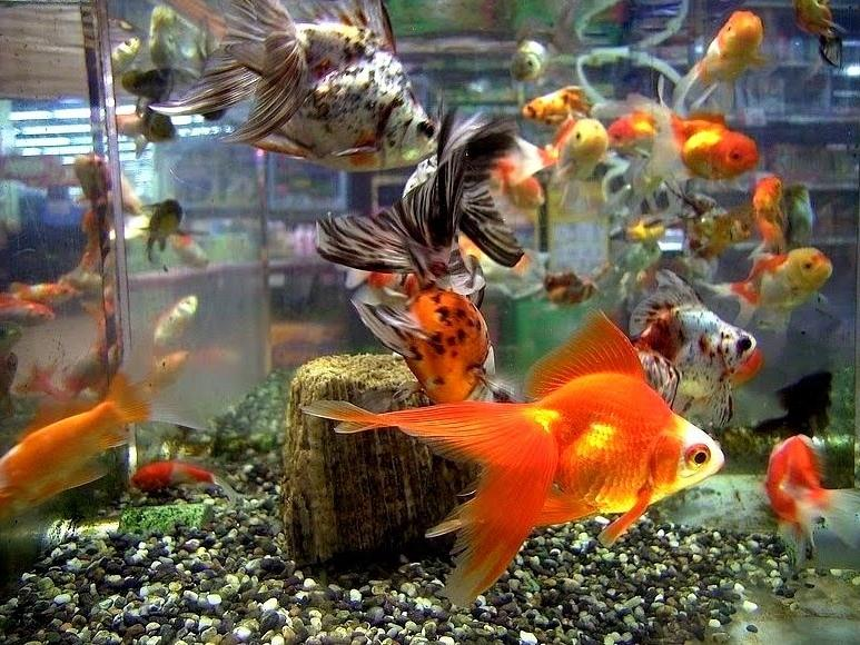 Photos of goldfish in an aquarium for Aquarium decoration for goldfish