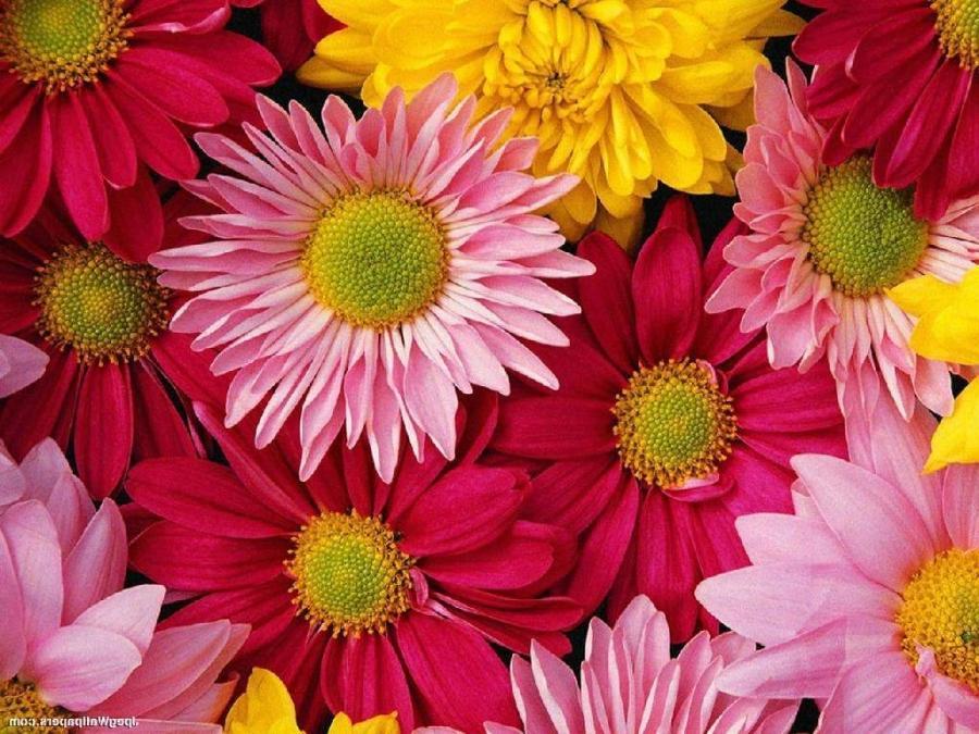 Flowers gerber daisy photos - Gerber daisy wallpaper ...