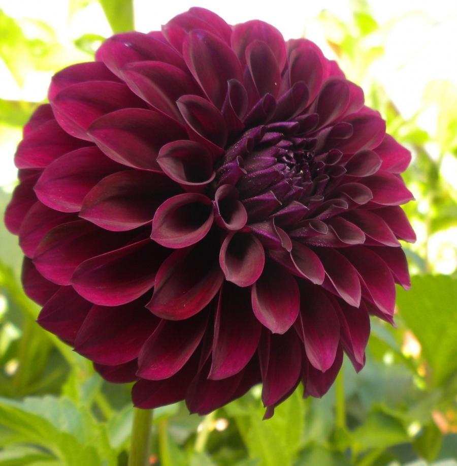 Black dahlia flower photo black dahlia flower izmirmasajfo