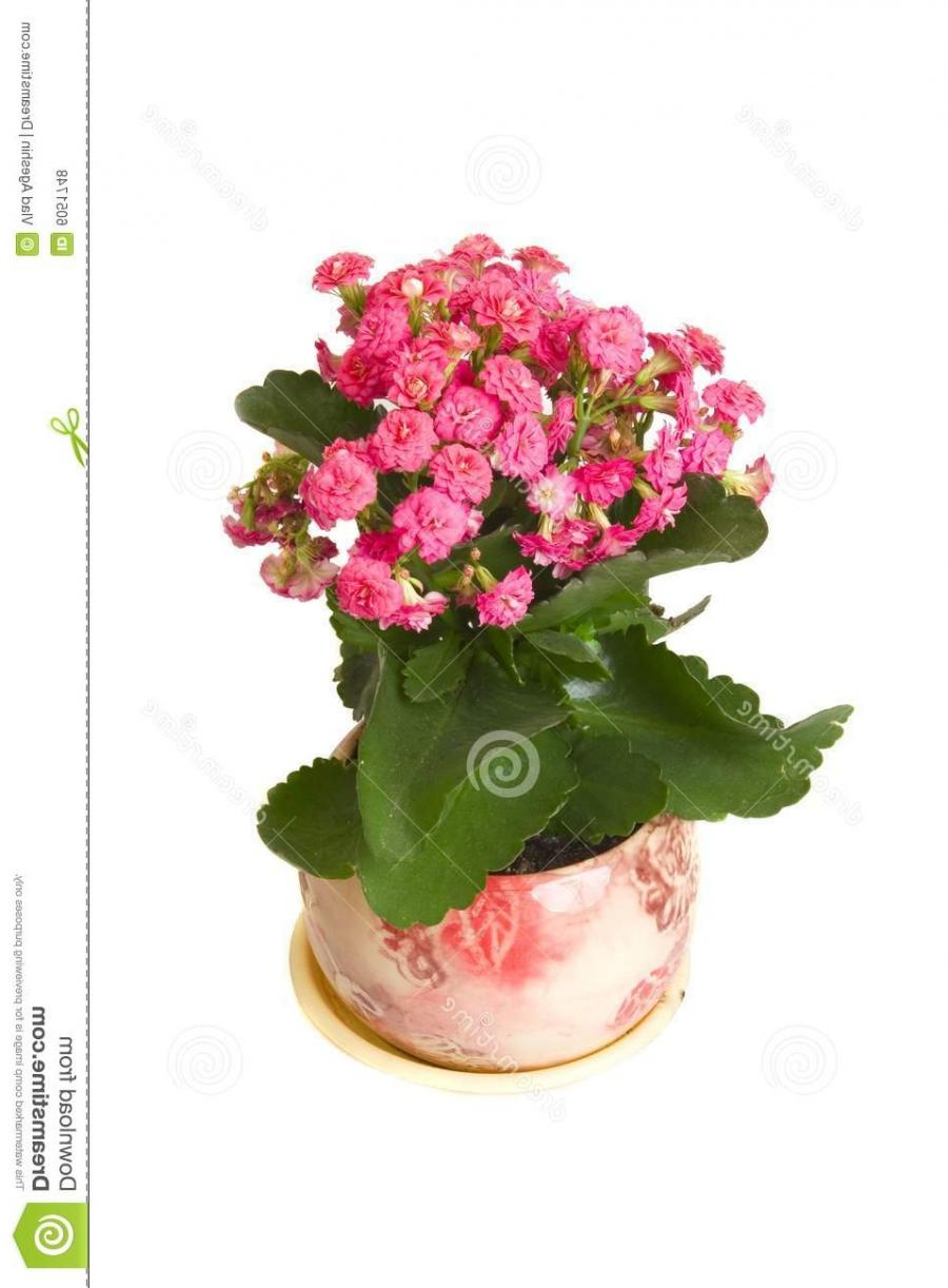 Pink kalanchoe flower in pot