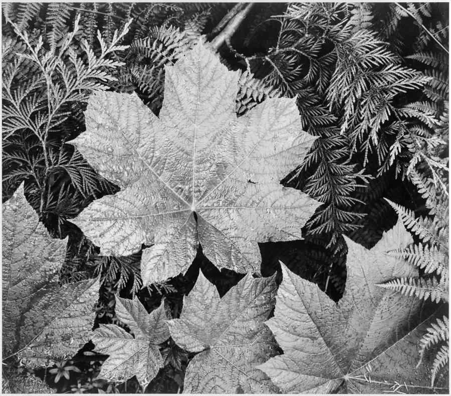 A black-and-white close-up photograph of palmate, conifer, and