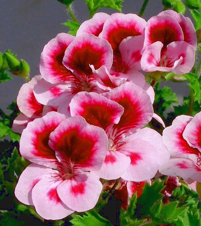 Types Of Geraniums: Different Types Of Flowers Photos