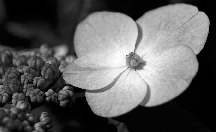 ... Hydrangea flower photography art prints in black  white ...