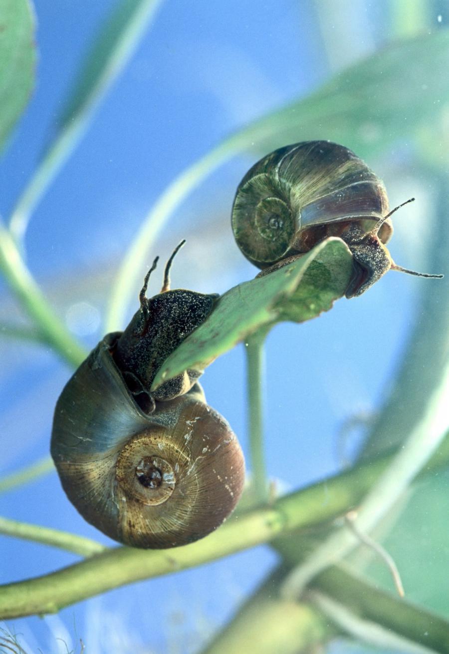 Photos Of Aquarium Snails