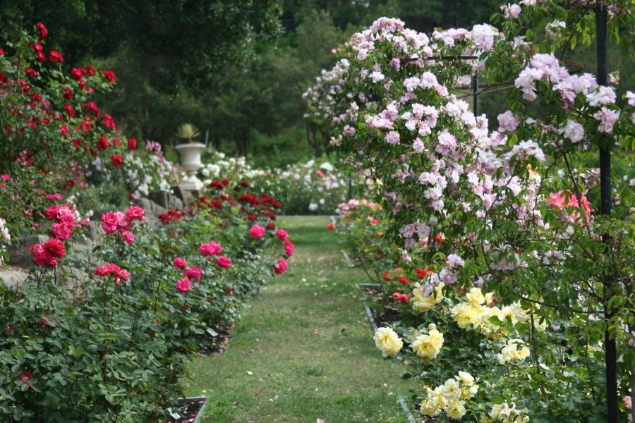 Photos of home rose gardens