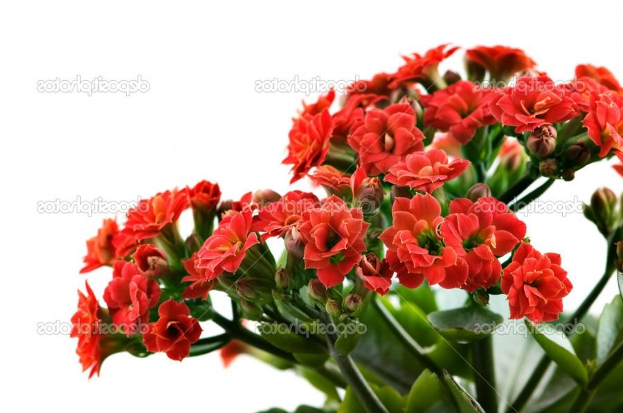 Kalanchoe red flowers closeup on white u2014 Photo by nrey_ad