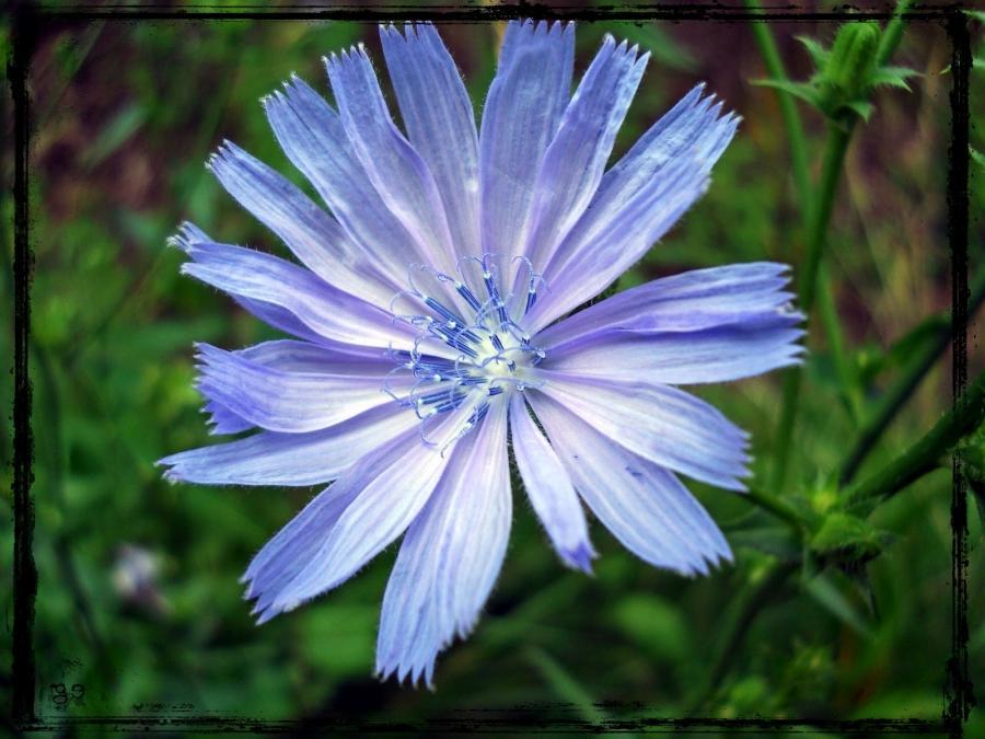chicory wallpaper flower - photo #11