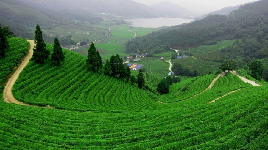 Tea garden photo gallery