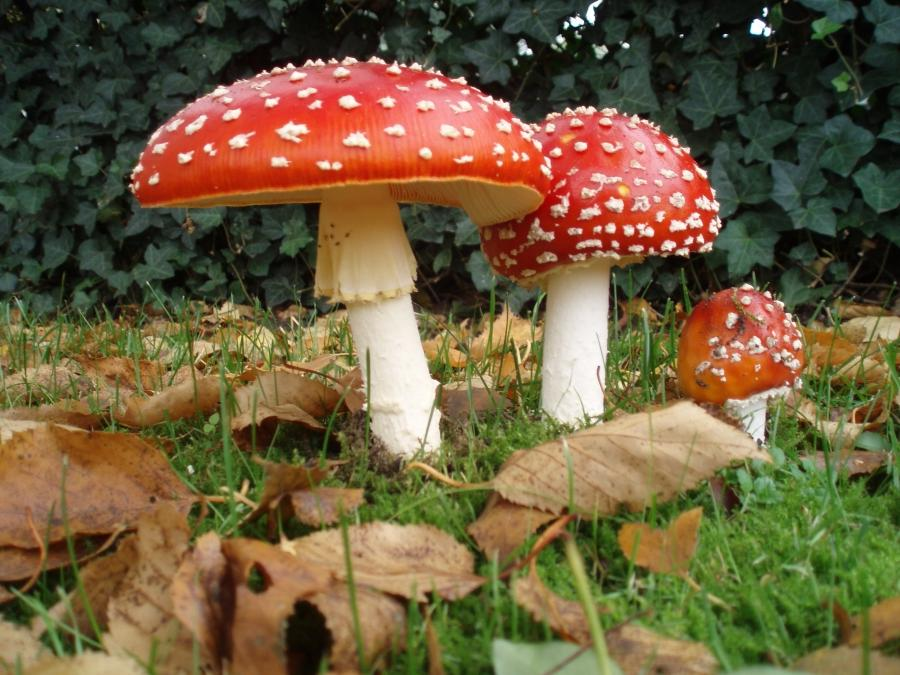 A group of three mushrooms, ranging in size from small to large,...