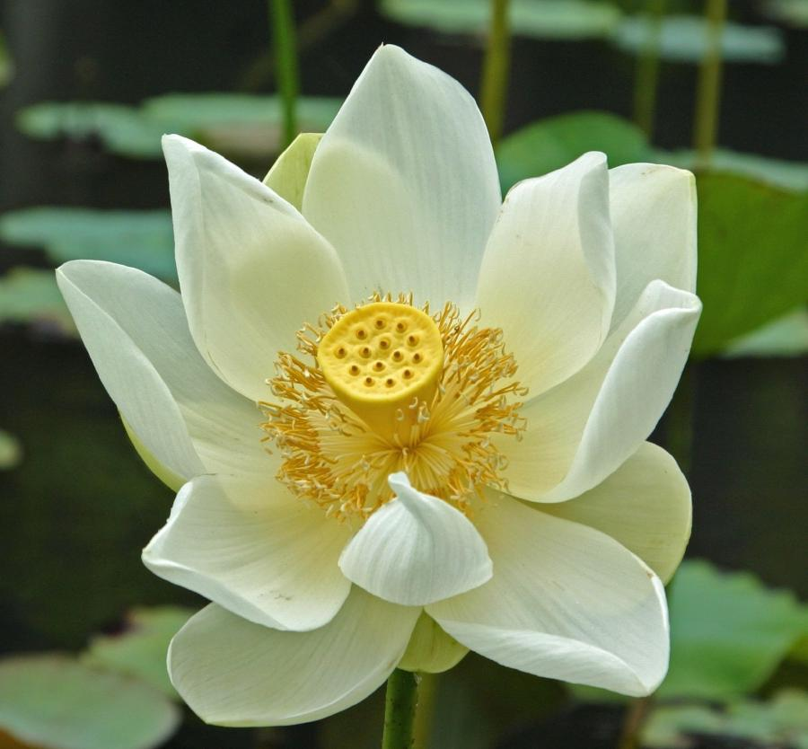 Lotus Flowers Pictures Photos