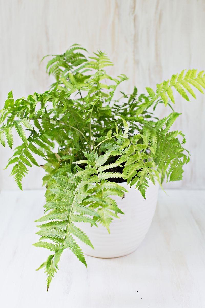 Deadly house plants photos for Non toxic ferns