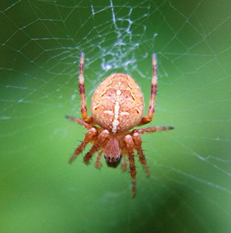 Red Garden Spider Photos