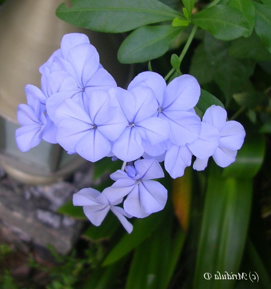 Blue flowers names photos blue flower plumbago u2013 also called leadwort name via ulla izmirmasajfo