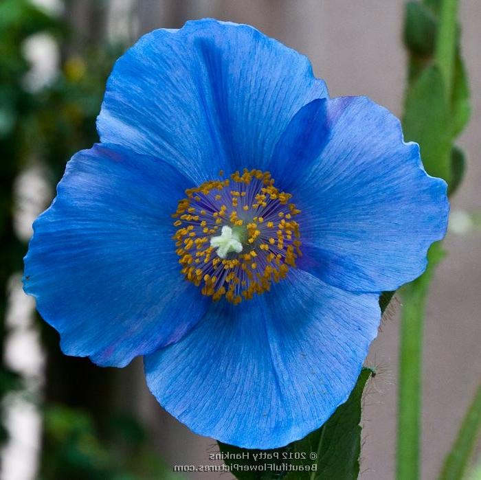 Blue Poppy Flower Photo