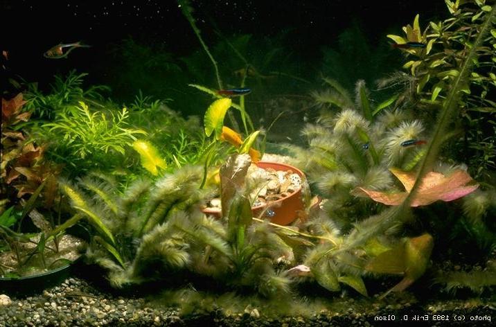Aquarium algae photos for White algae in fish tank