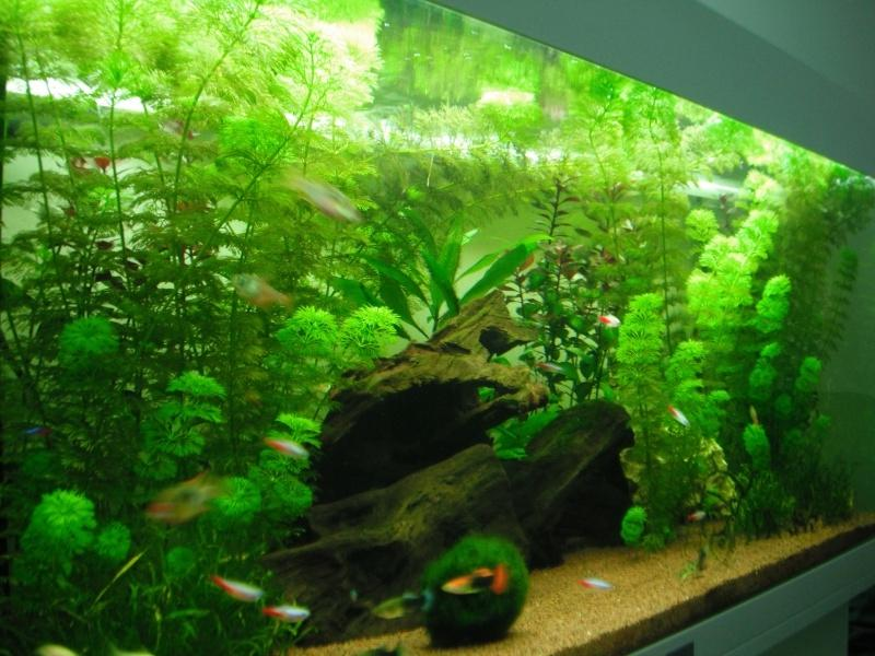 Photo plante aquarium eau douce for Plante aquarium eau douce