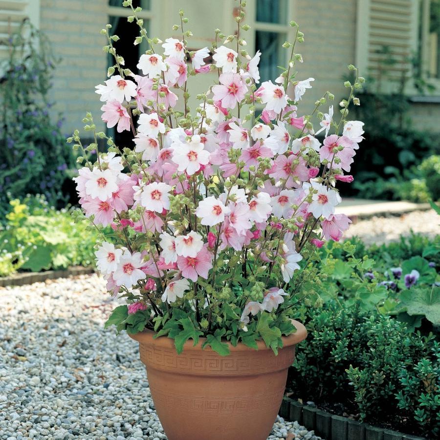 Лаватера цветок и описание 50