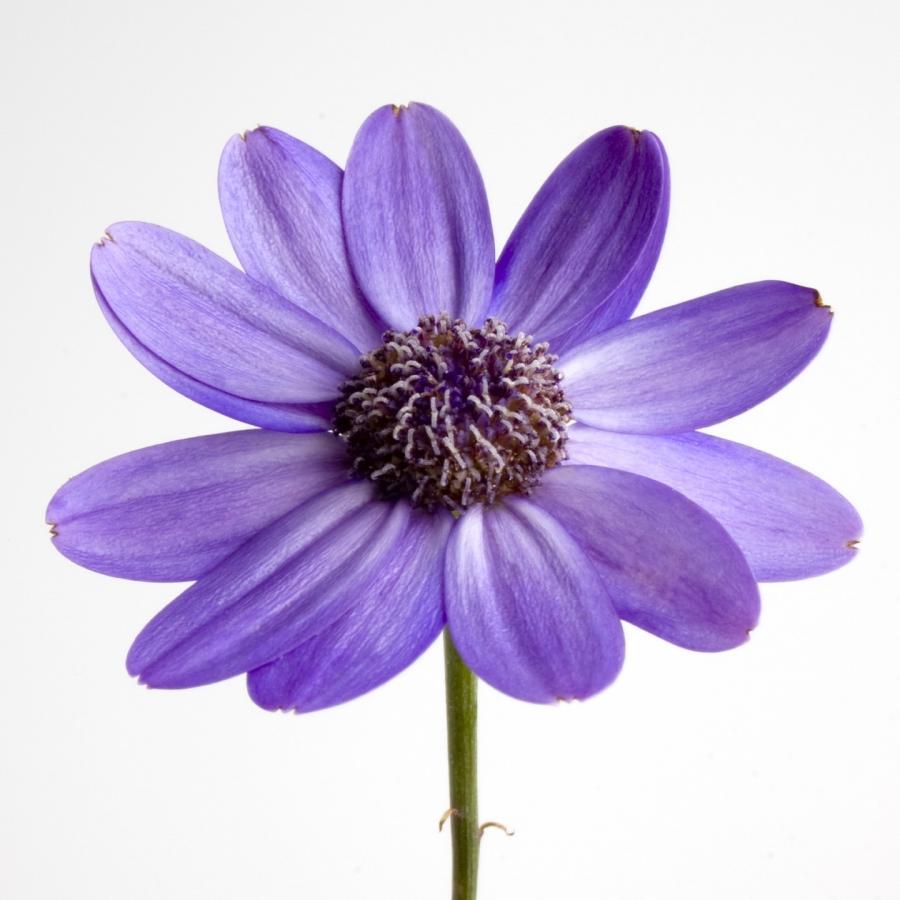 Purple Flower Photos White Background