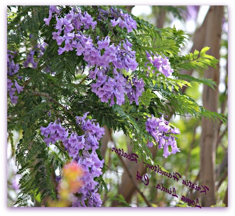 Photos of trees with purple flowers for Planta ornamental jacaranda